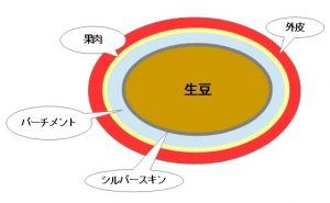 コーフィー豆の構造
