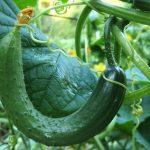 ガッテン!きゅうりをおいしく食べる方法やキュウリレシピ
